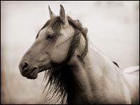 Testa e spalle dei Cavalli