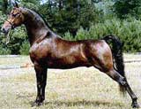 Cavallo Morgan