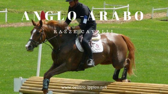 Cavallo Anglo-Arabo