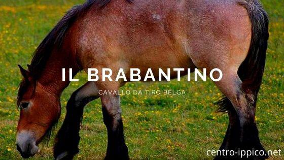 Cavallo da tiro belga